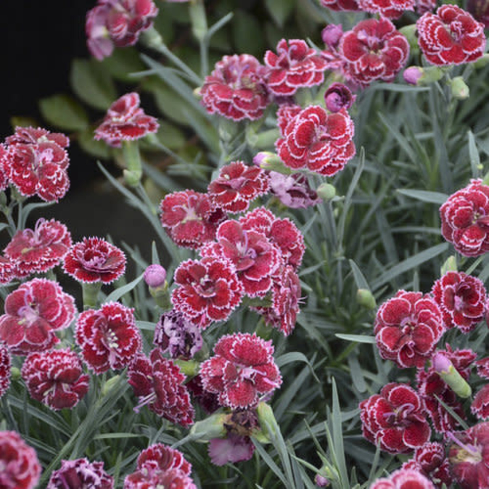 Dianthus 'black cherry frost' 1 gal