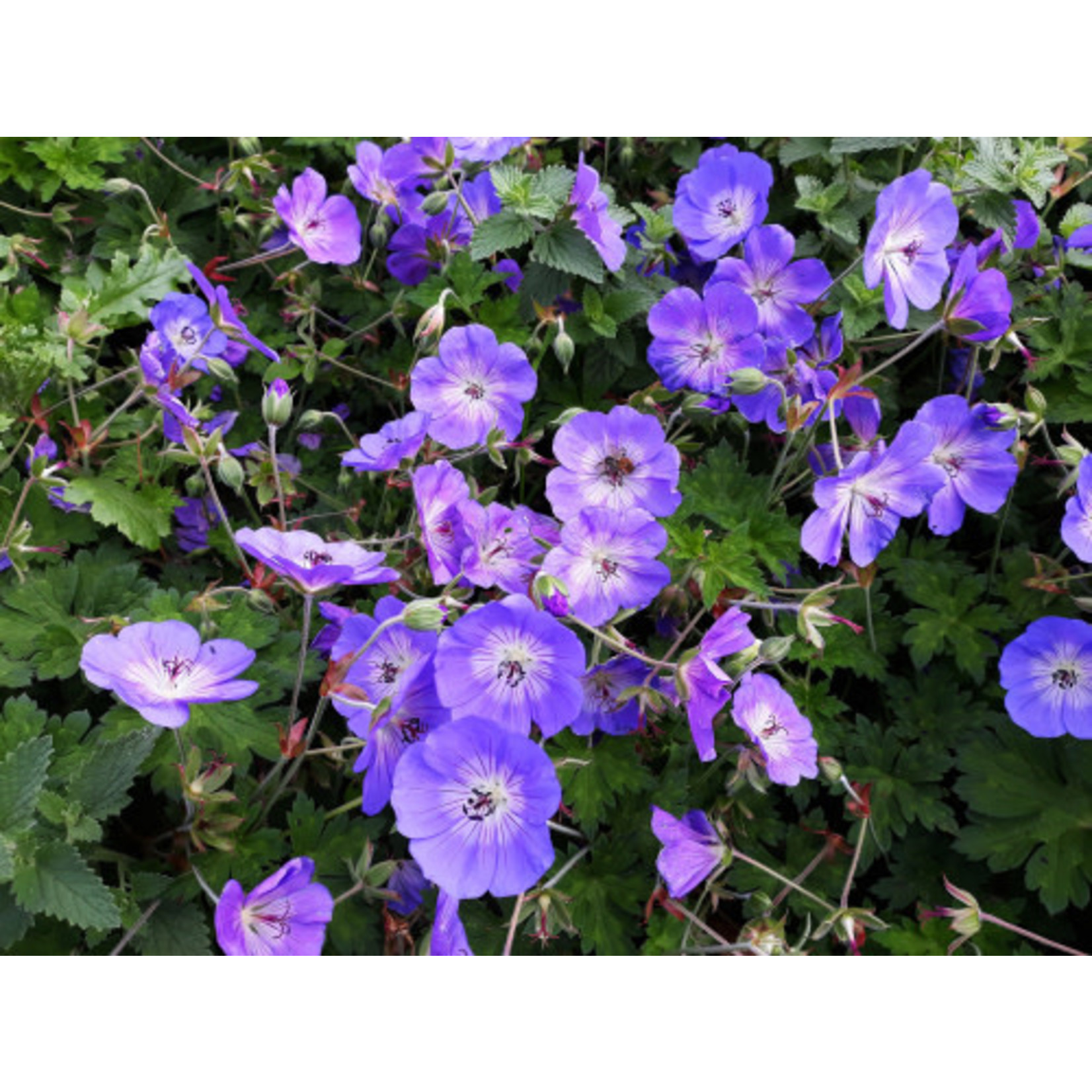 Perennial Geranium 'rozanne'
