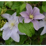 Clematis 'silver moon' - 1 gal