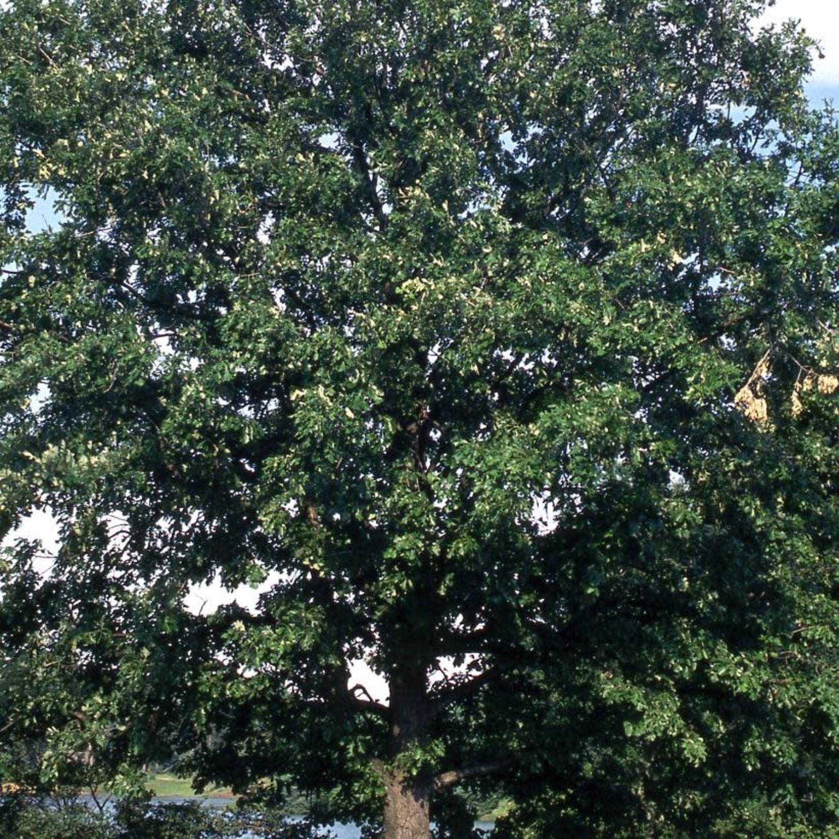 Burr Oak 'quercus macrocarpa' - 20 gal