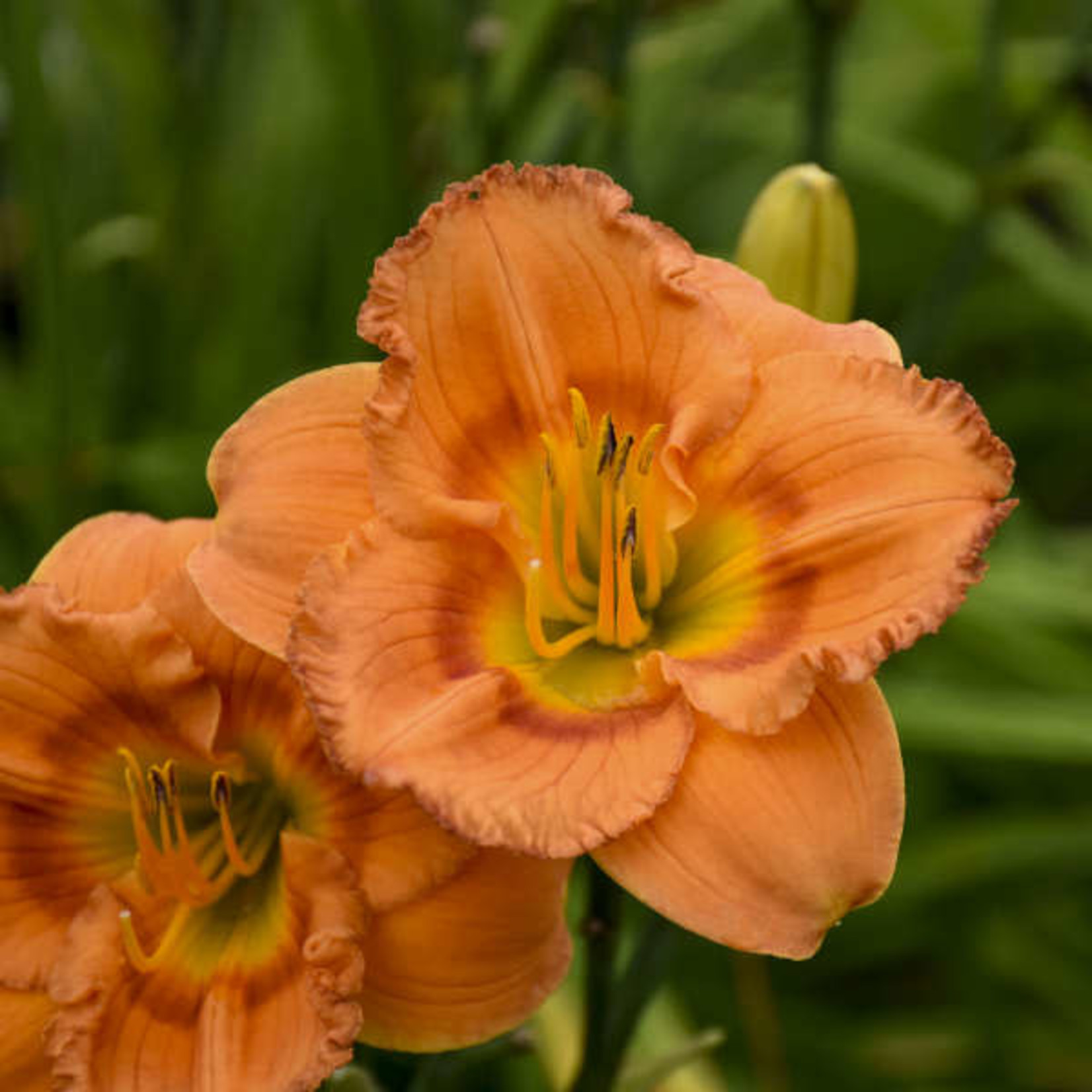 Daylily 'earlybird oriole' - 1 gal
