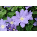 Clematis 'diana's delight' - 1 gal