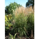 Feather Reed Grass - calamagrostis 'Karl Foerster' 2 gal
