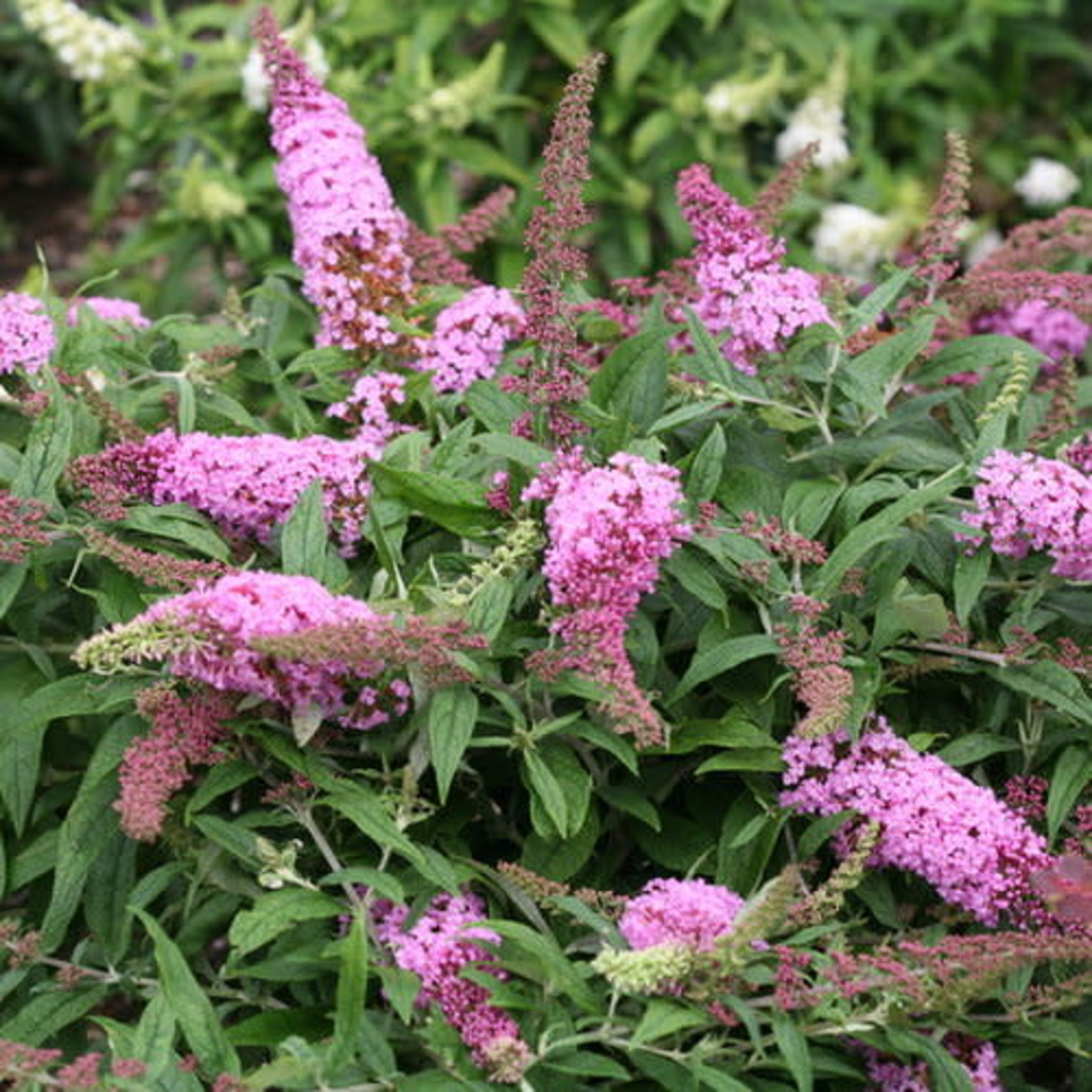 Butterfly Bush 'pugster pink'