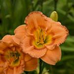 "4"" Perennials - SALE"