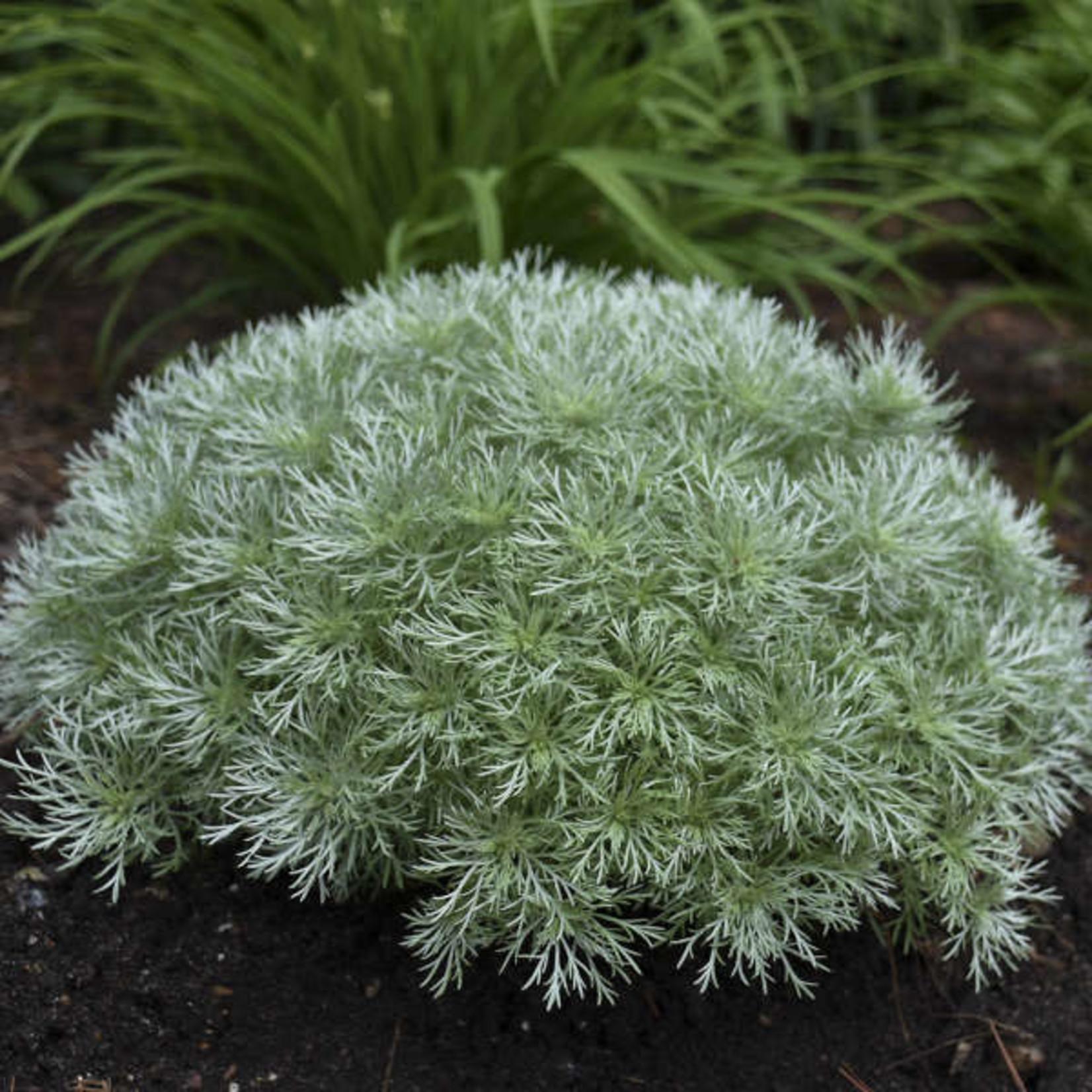 """4"""" Perennial\ Artemisia Silver Mound"""