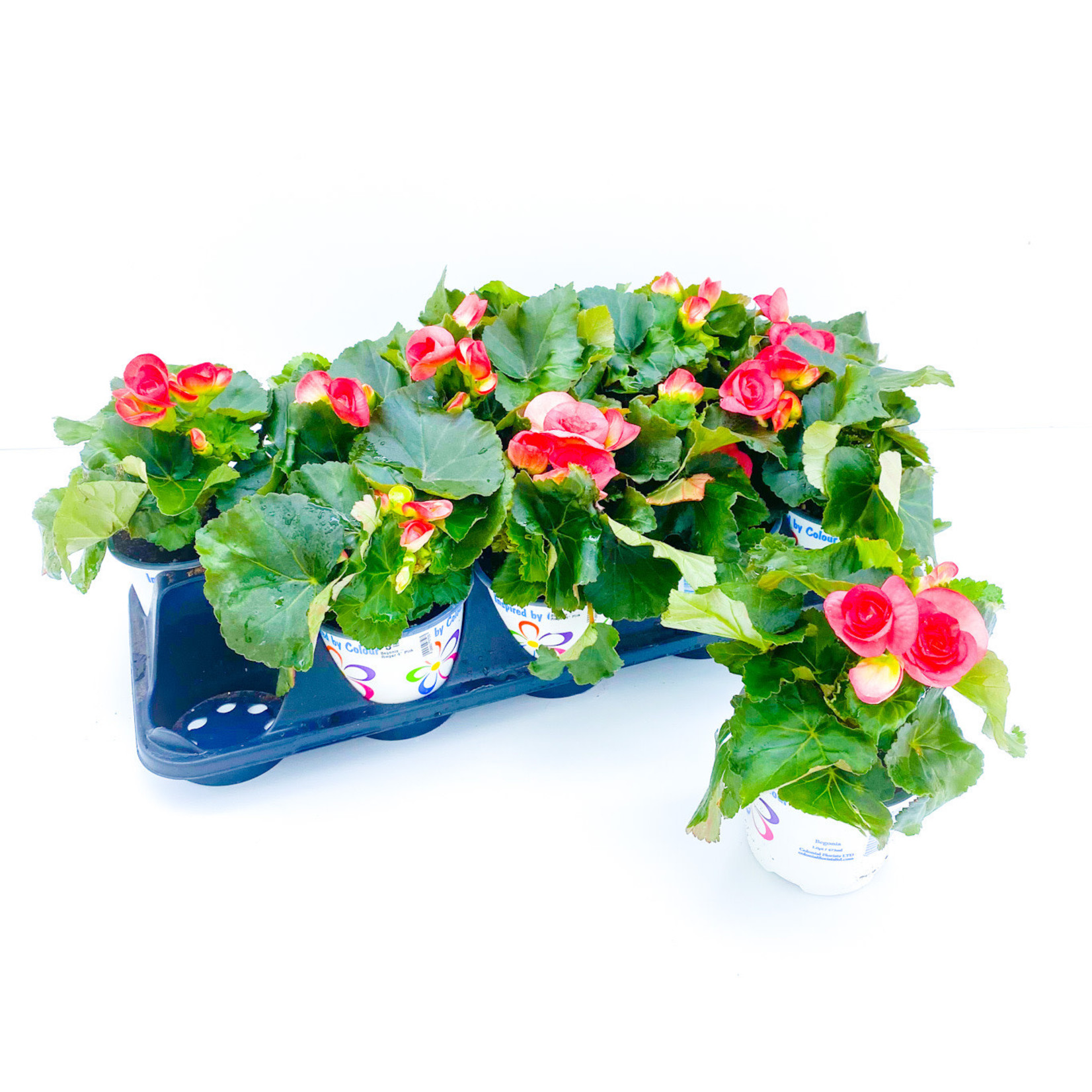 "Begonia - Rieger 4"" Assorted"