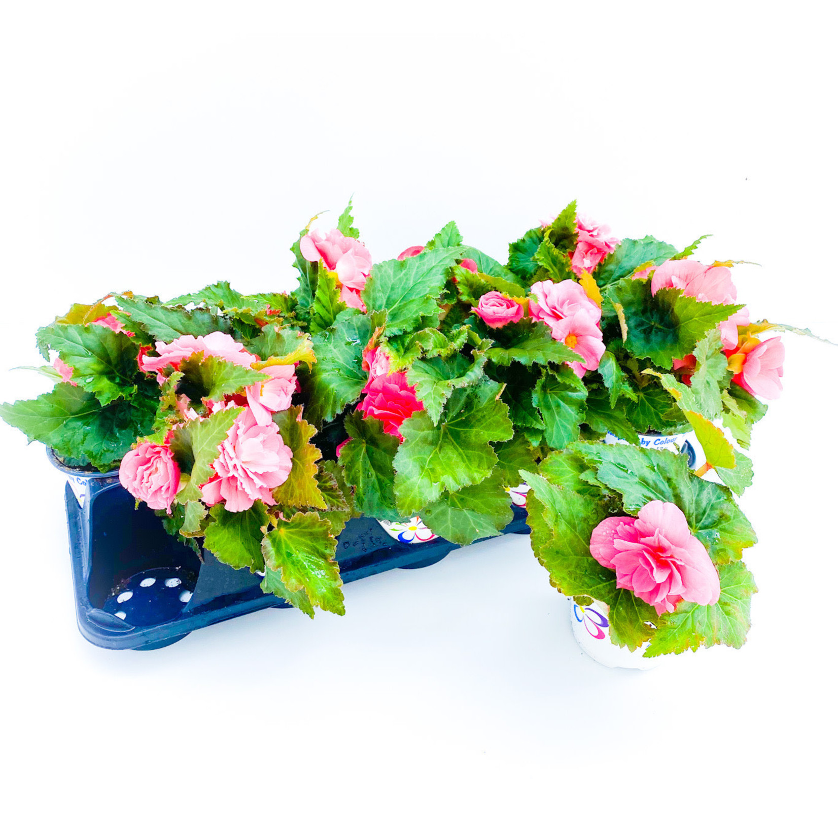 "Begonia - Tuberous 4"" Assorted"