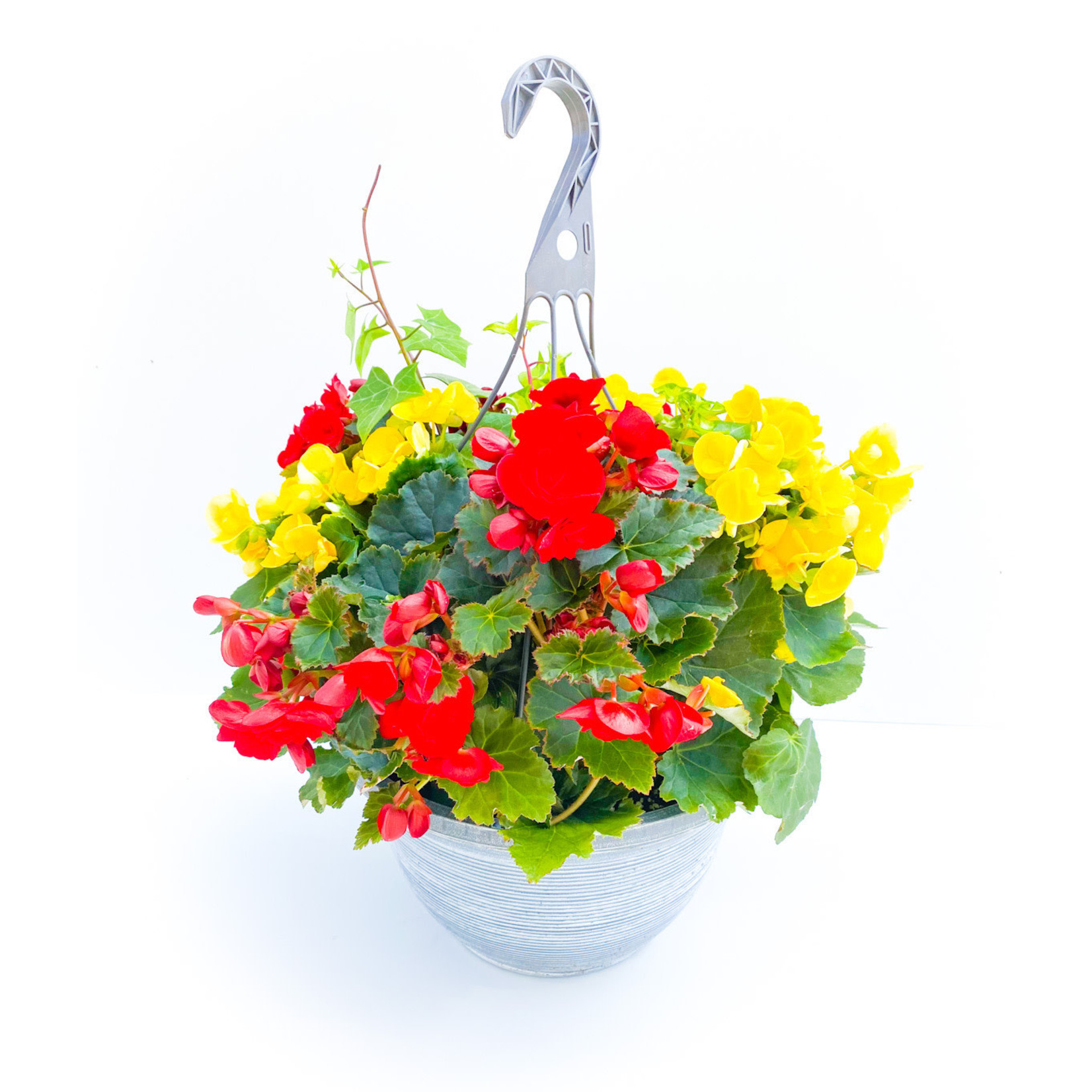 """Begonia - 12"""" HB Assorted"""