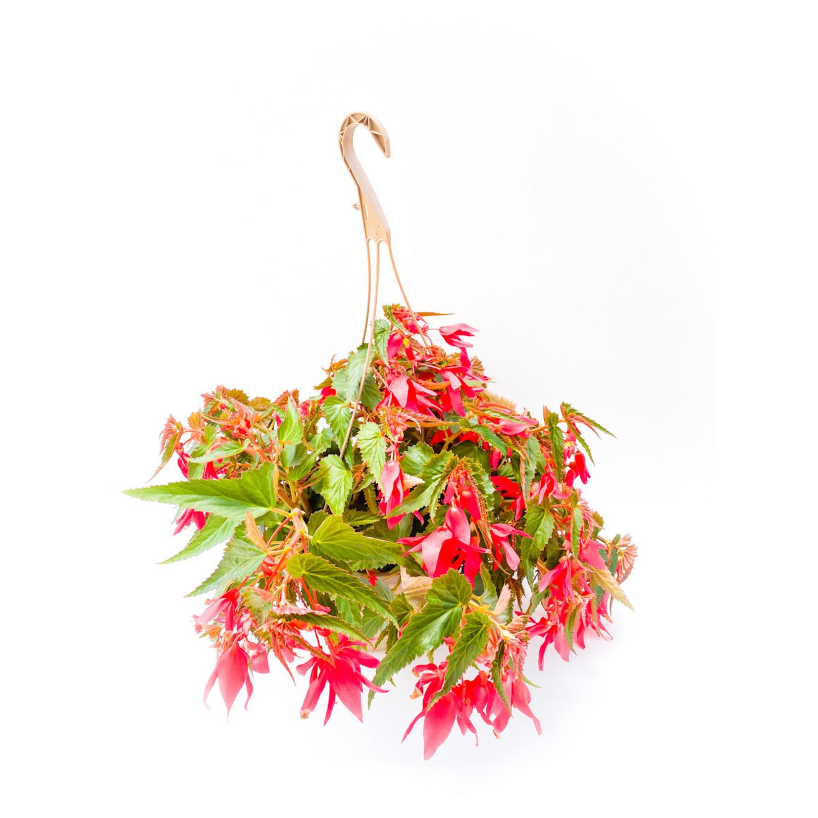 """Begonia - Encanto 10"""" HB Assorted"""