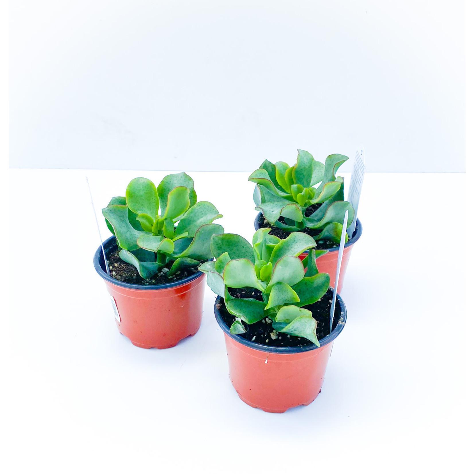 """Succulent - 3.5"""""""