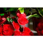"Begonia - Tuberous 4"" Assorted"