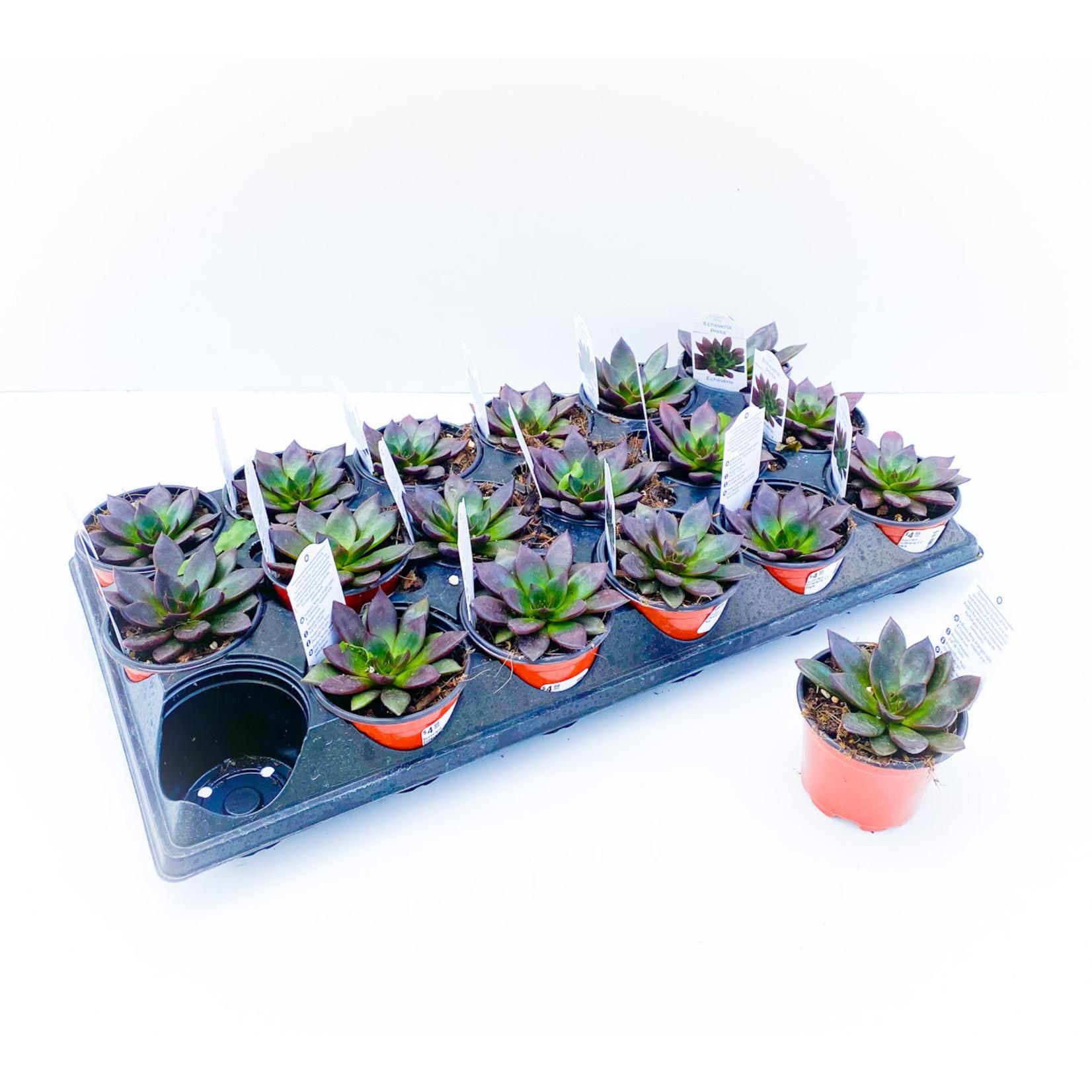 """Succulent - Echeveria 3.5"""""""
