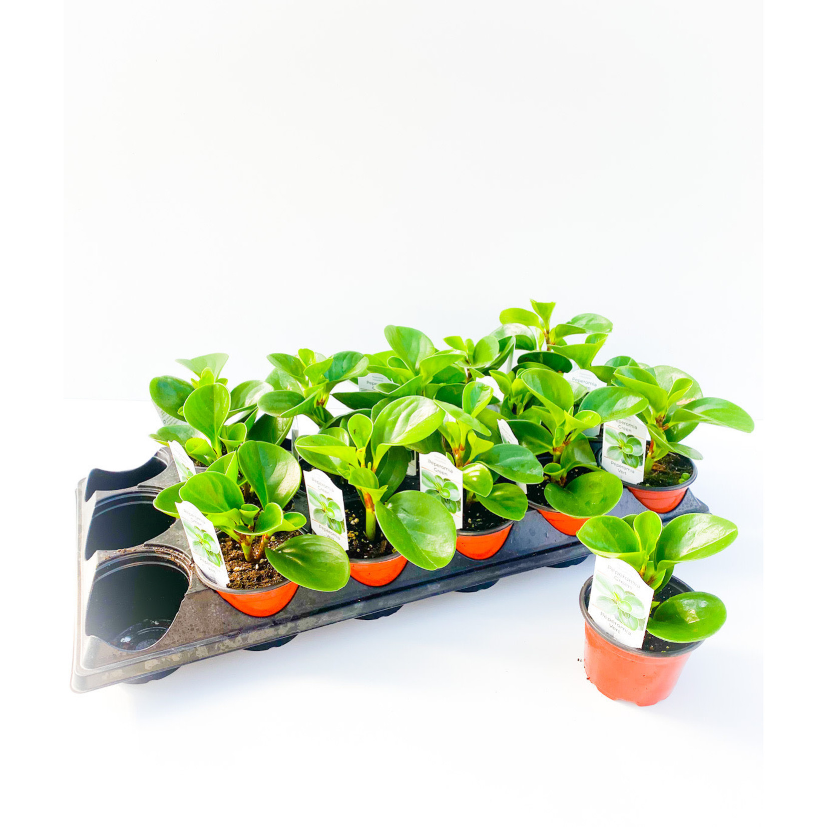 """Succulent - Peperomia - 3.5"""""""