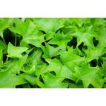 "German Ivy - Green - 4"""
