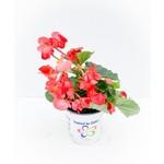 Begonia Dragon Wing - Red - 1 gal