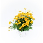 Bidens - yellow - 1 gal