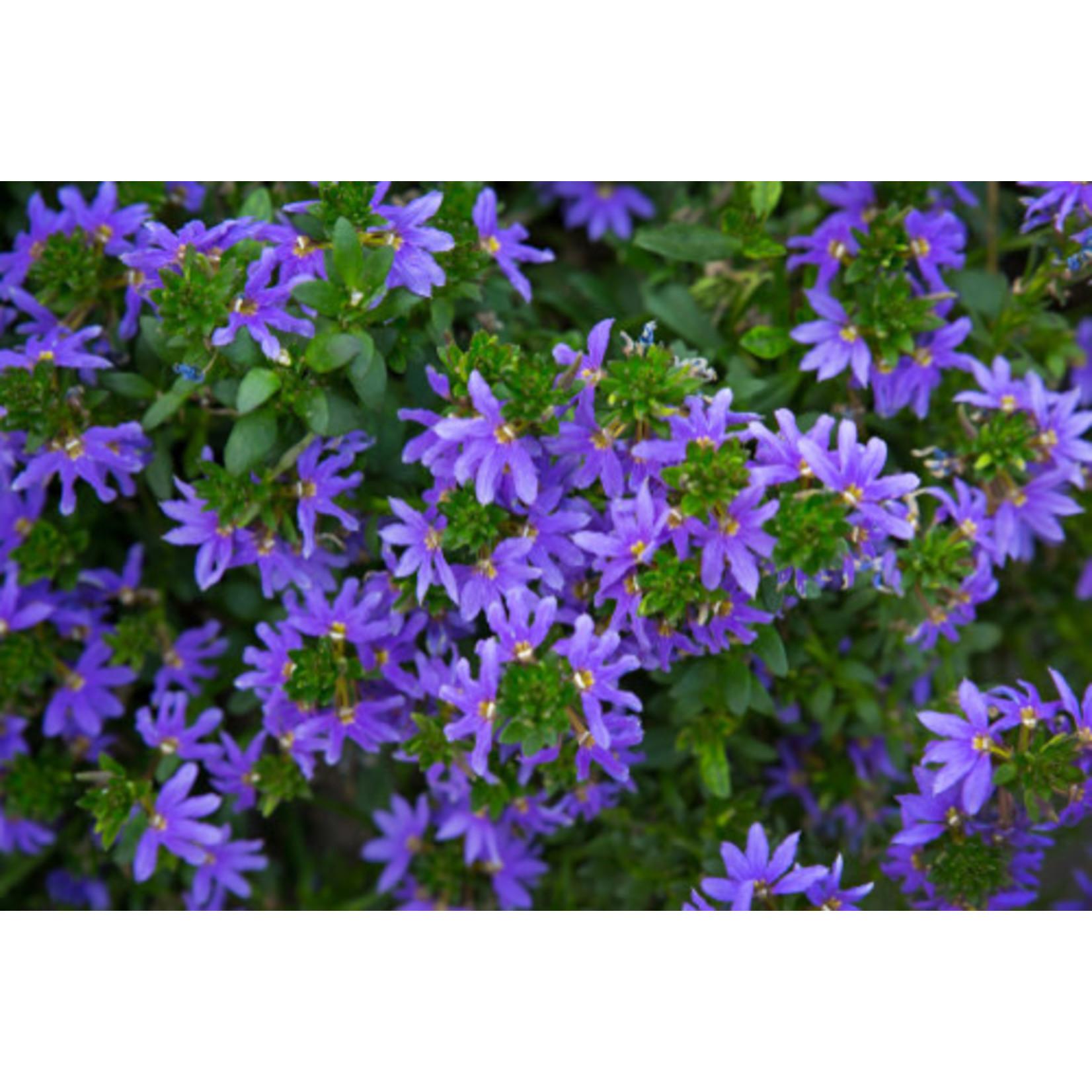 Fan Flower - Blue - 1 gal