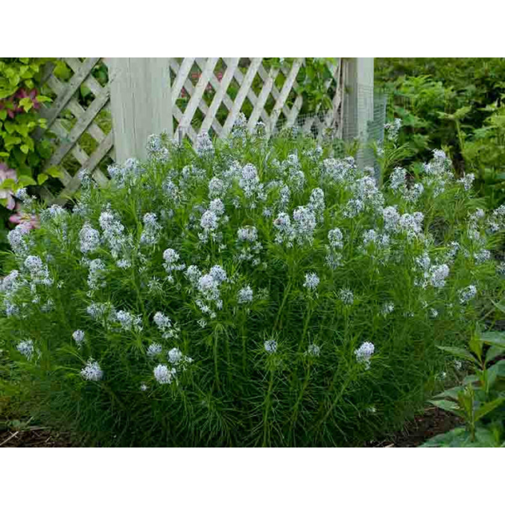 Bluestar 'amsonia hubrichtii' - 2 gal