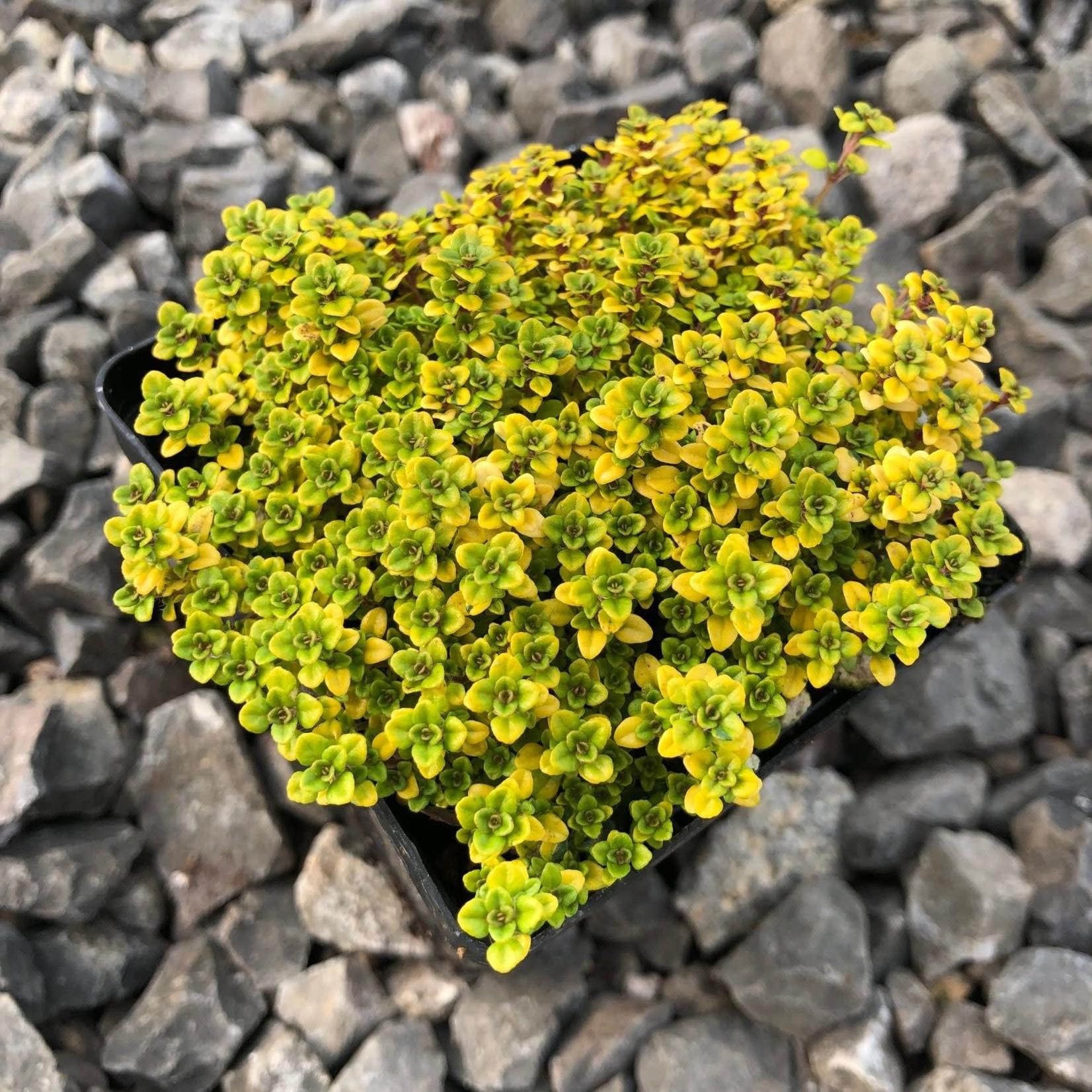 """4"""" Perennial\ Thyme 'golden lemon' 4"""""""