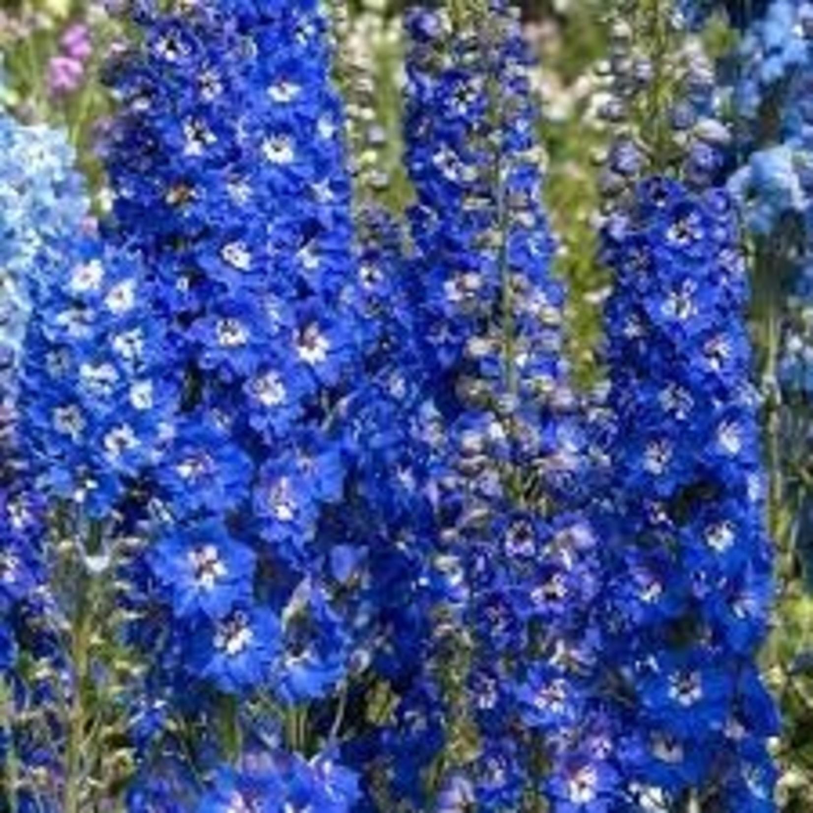 "4"" Perennial\ Delphinium 'Blue Bird' - 4"""