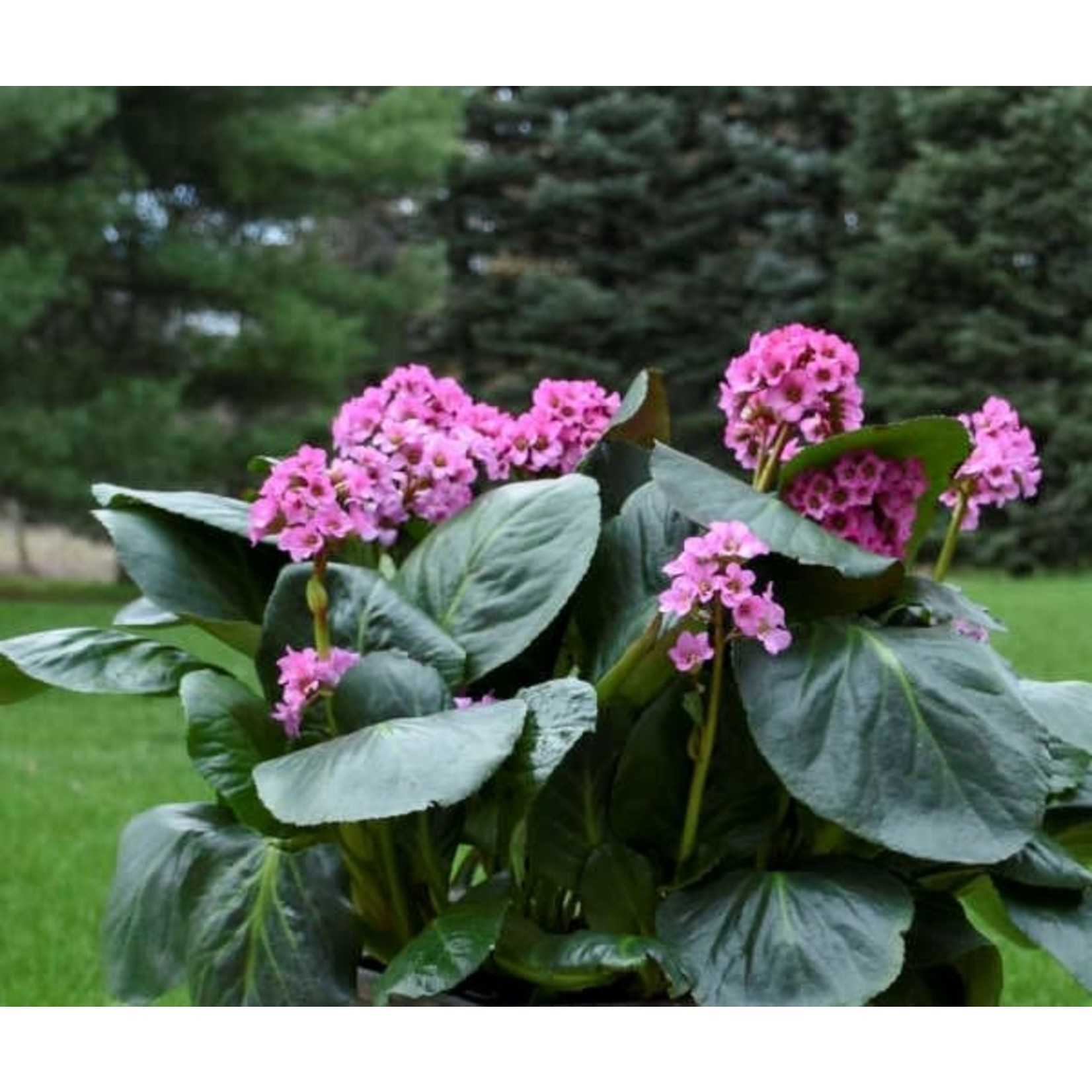 """4"""" Perennial\ Pigsqueak 'bergenia cordifolia' 4"""""""