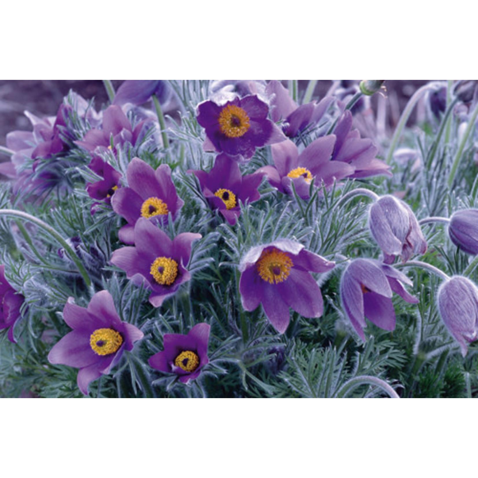 Pulsatilla vulgaris 'violet bells' 1 gal