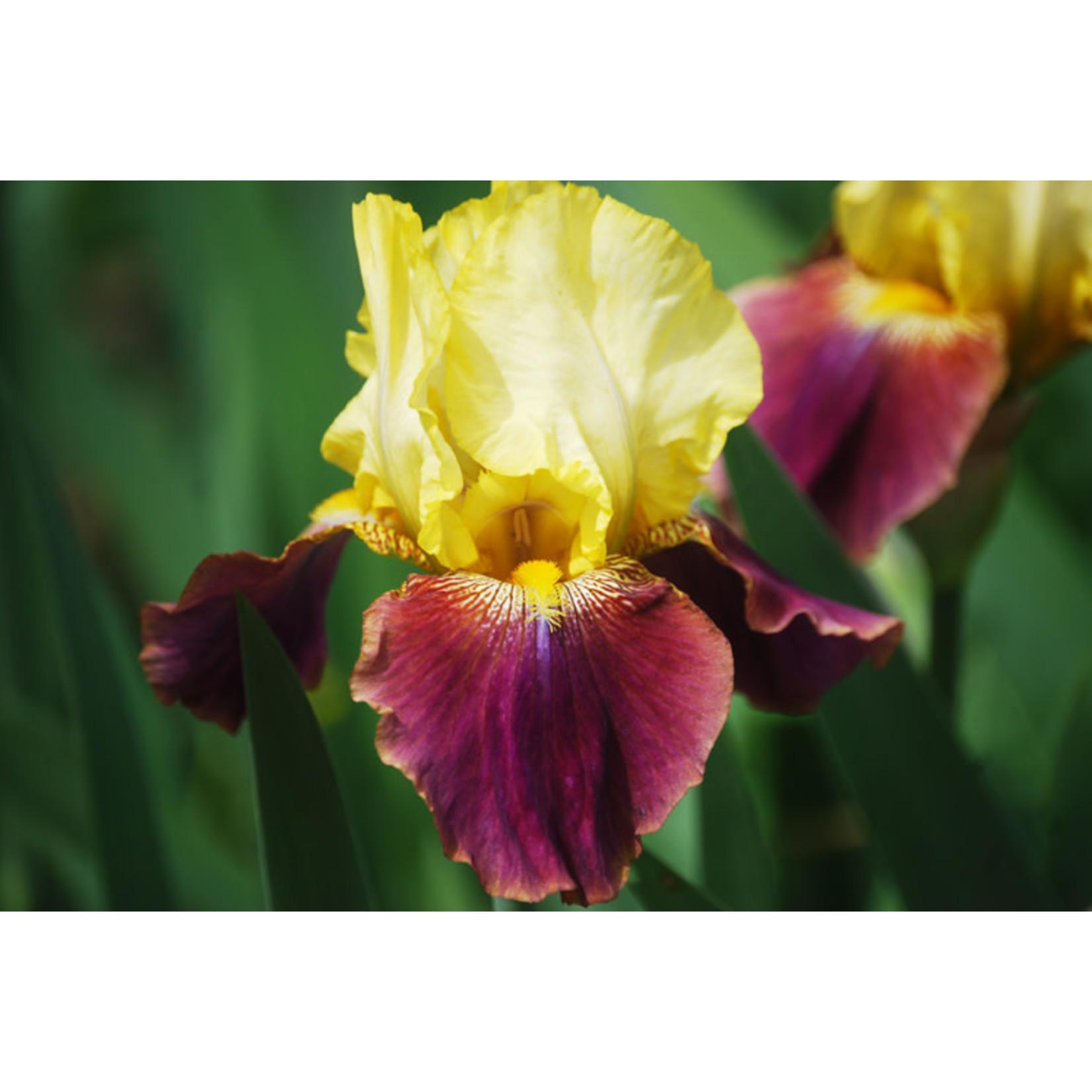 Iris Germanica Blatant - 1 gal