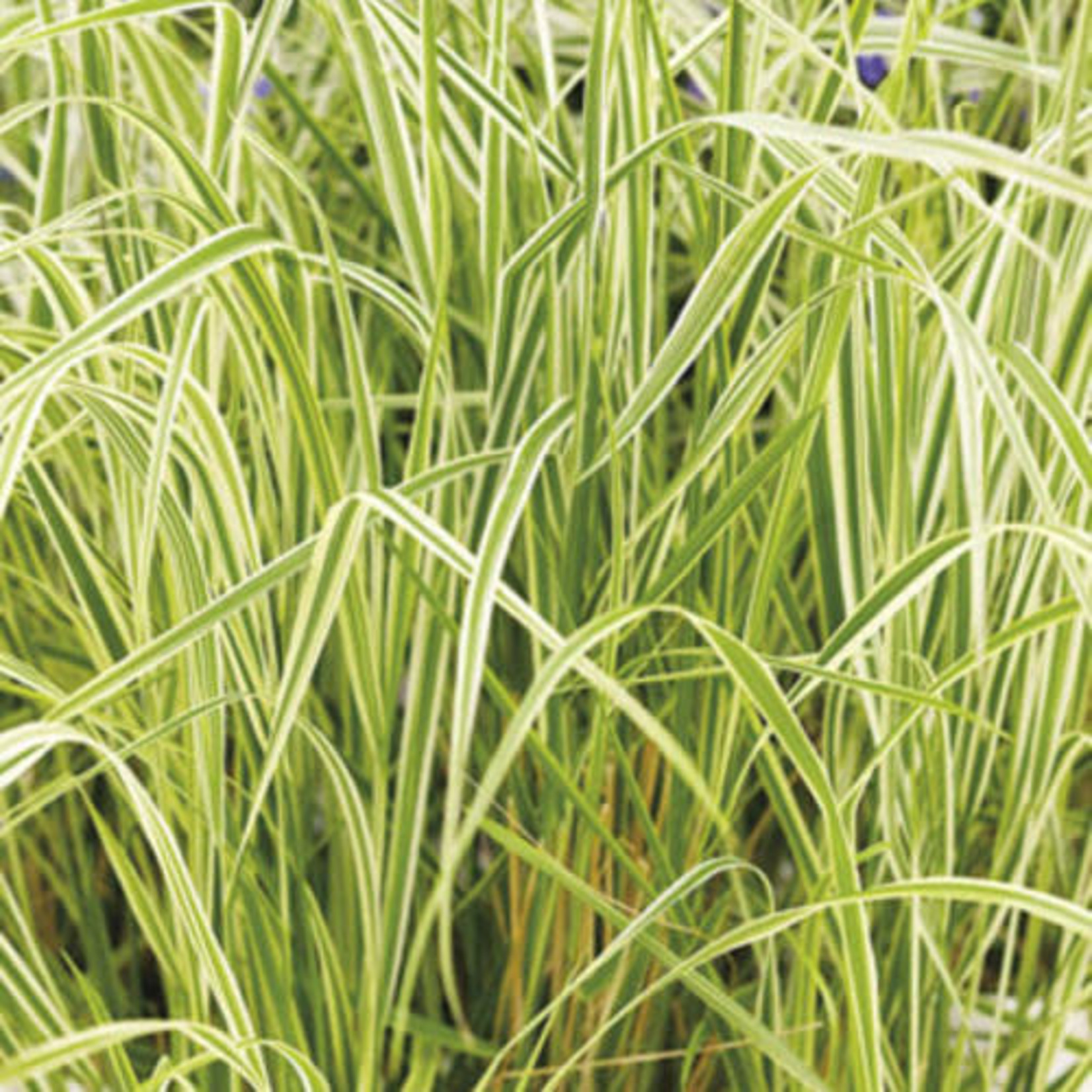 Feather Reed Grass - 'Overdam' 1 gal