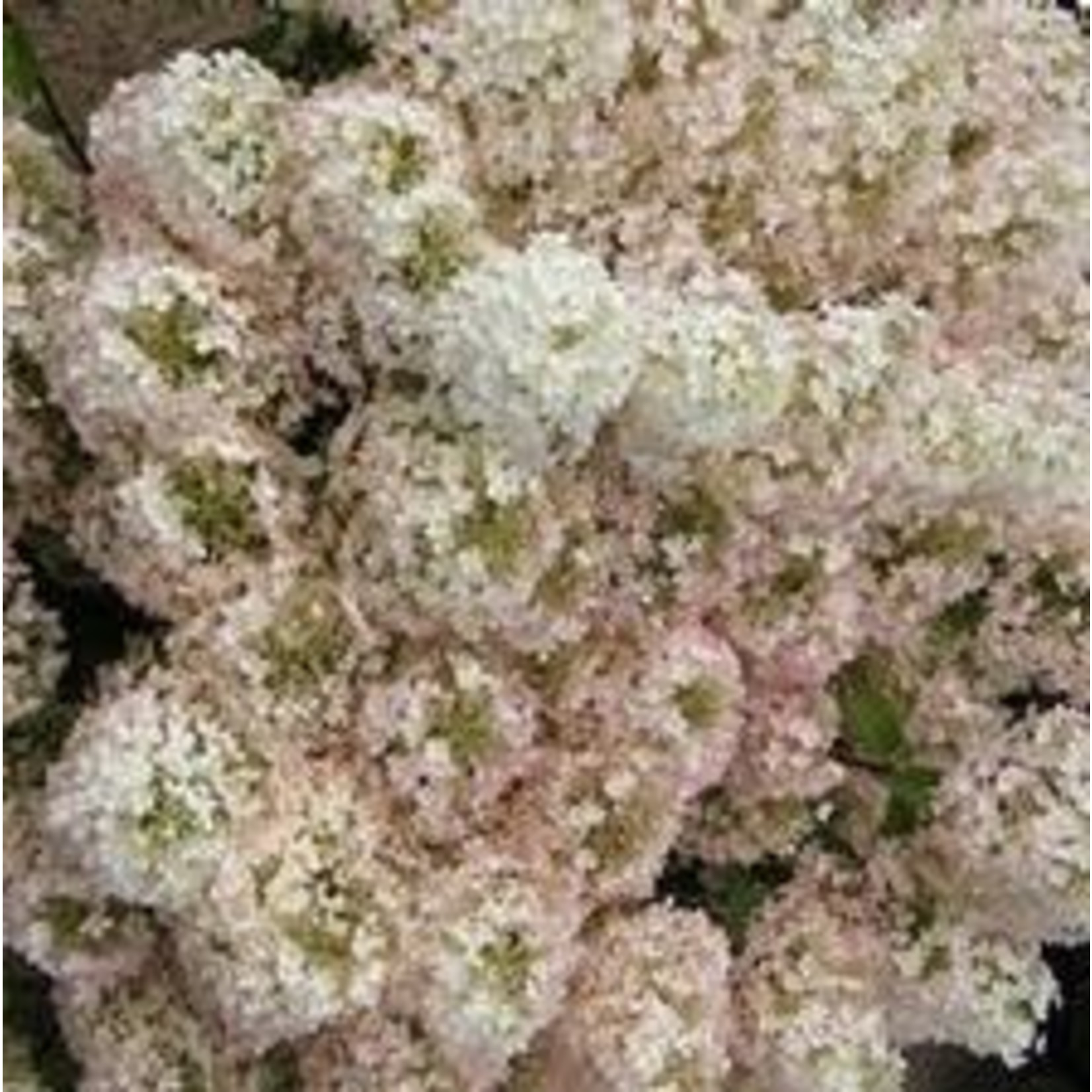 Hydrangea 'Bobo' - 2 gal
