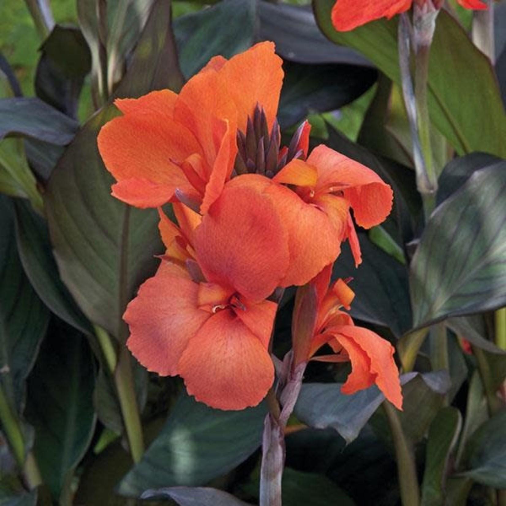 Canna Lily 'orange' 1 gal