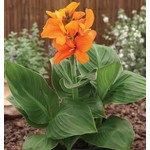 Canna 'south pacific orange' 1 gal