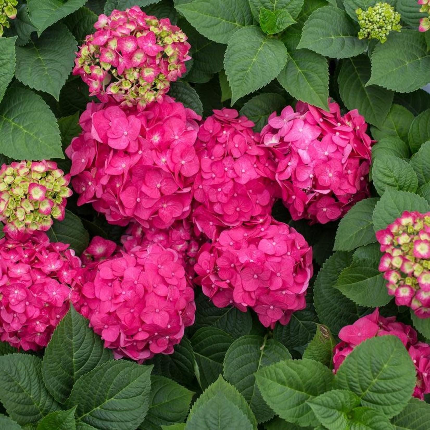 Hydrangea 'endless summer crush' 3 gal