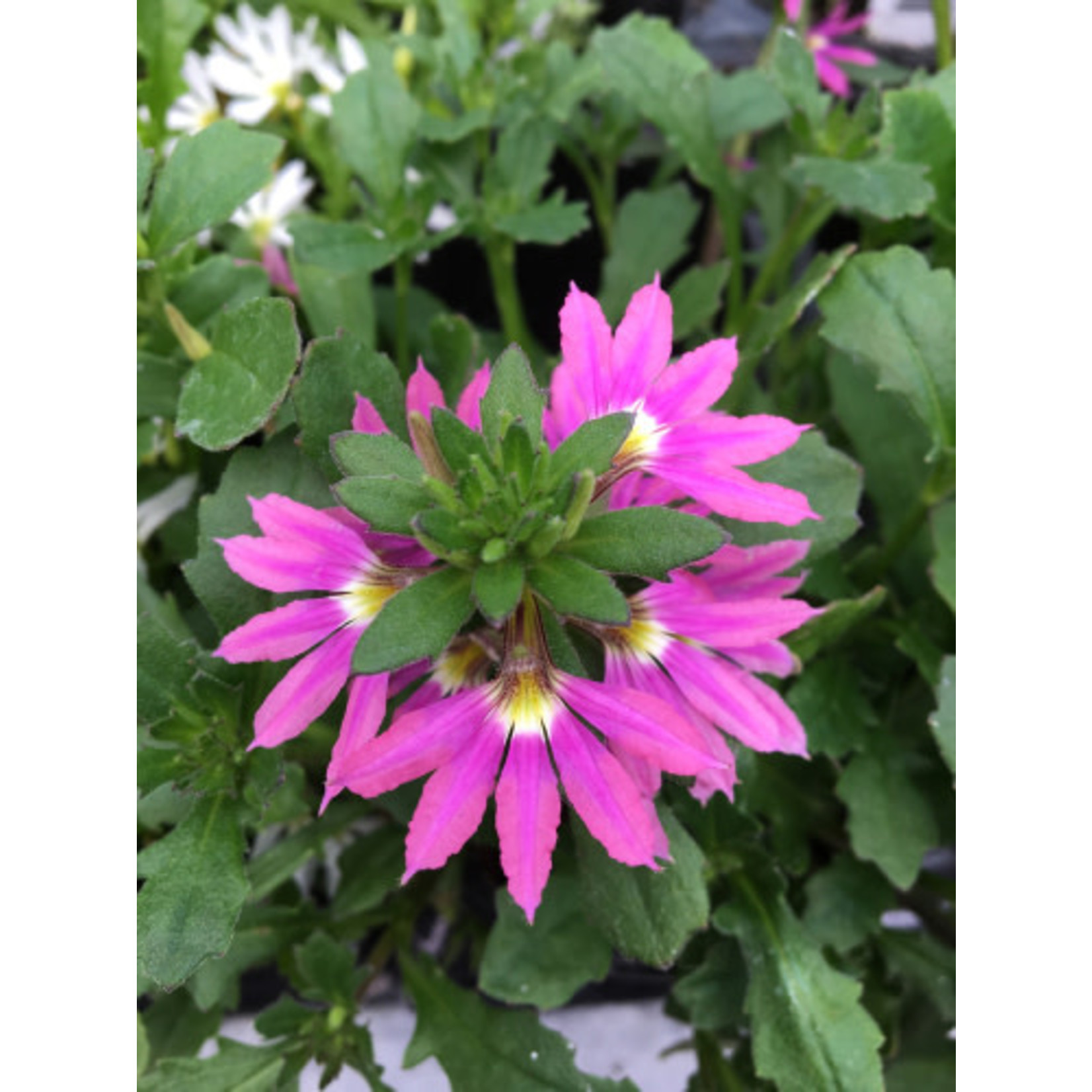 """Fan Flower 'Scaevola' - 4"""""""