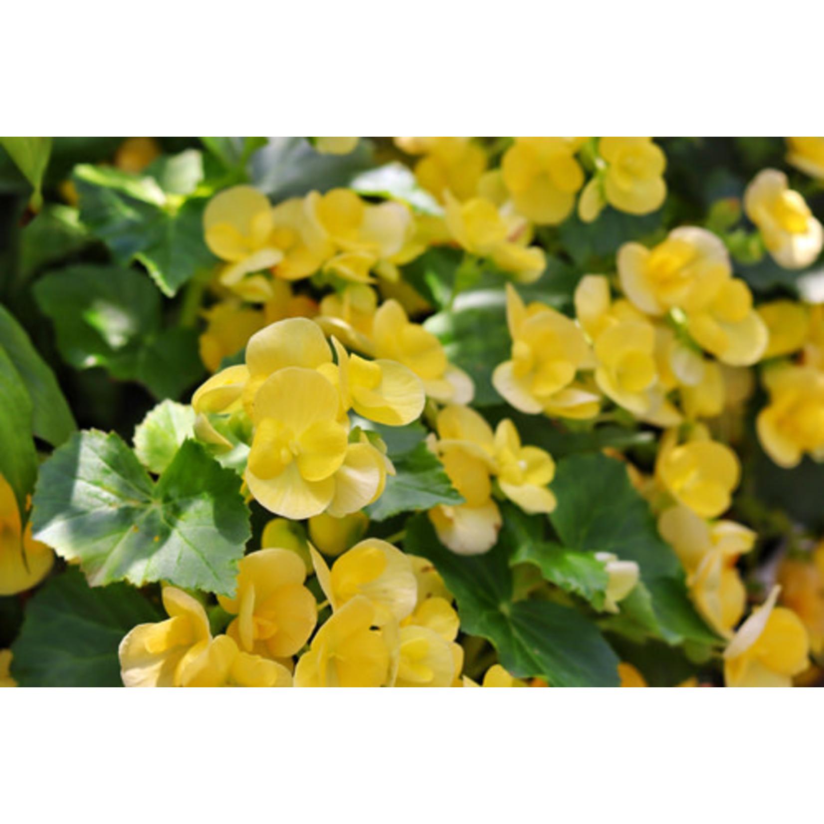 Begonia - Rieger 1 gal