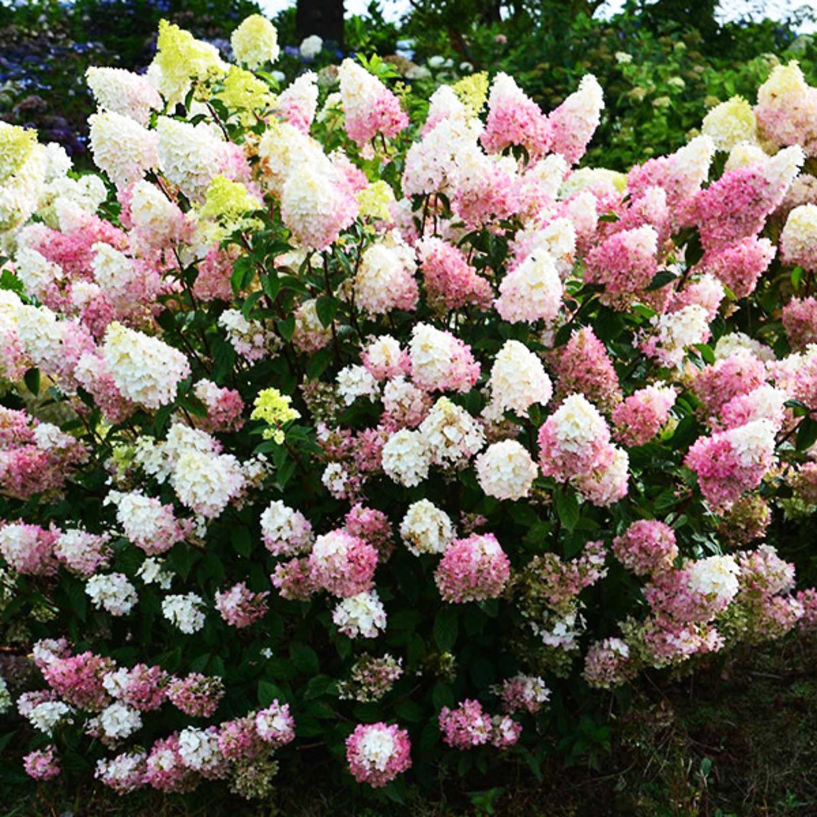 Hydrangea 'Strawberry Sundae - 2 gal