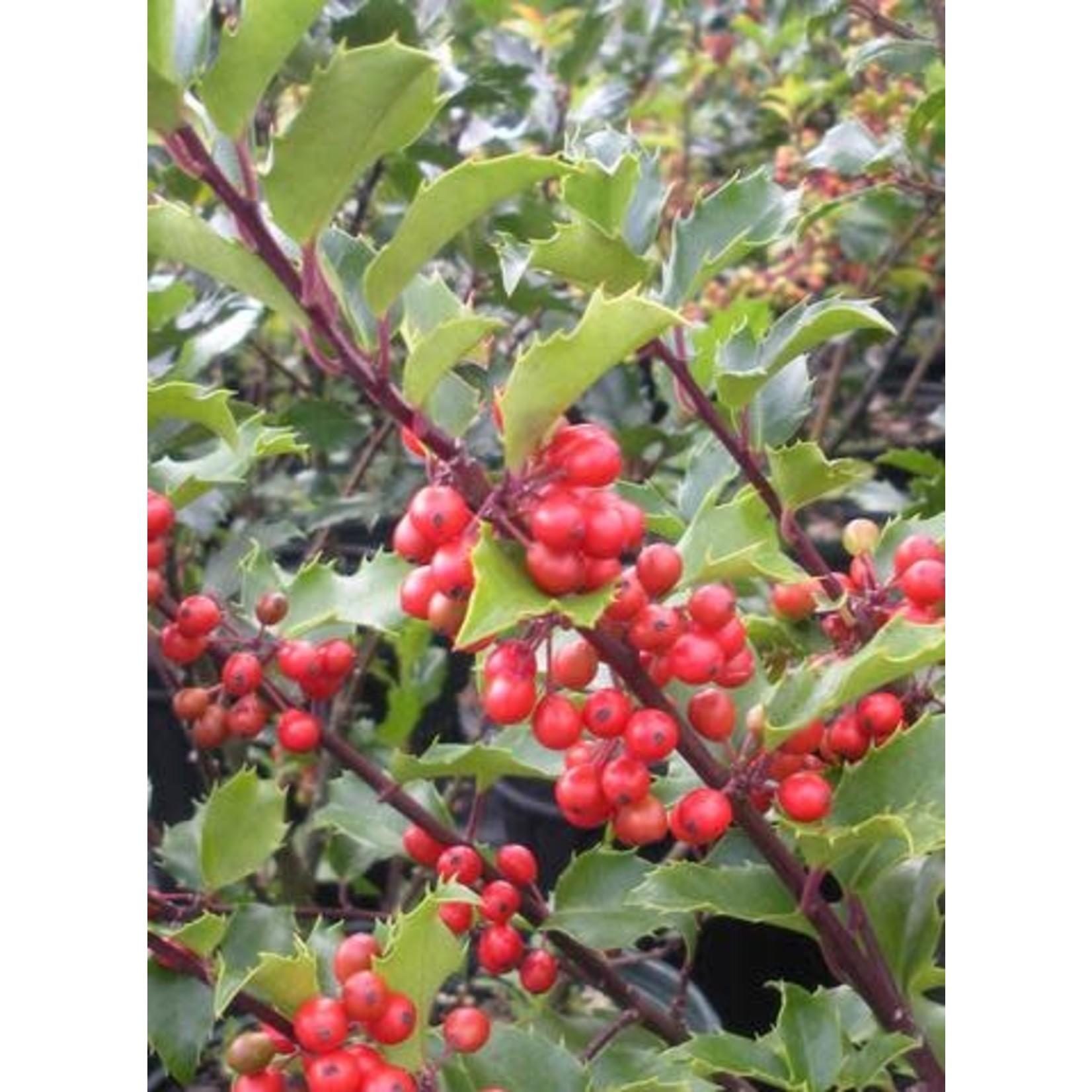 Holly 'berri-magic'