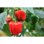 """Peppers - 4"""""""