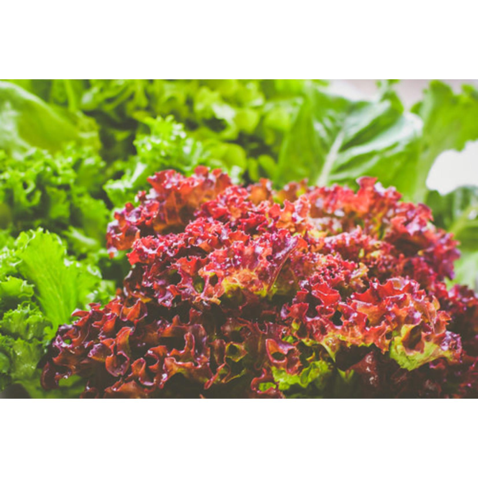 """Lettuce - 4"""""""