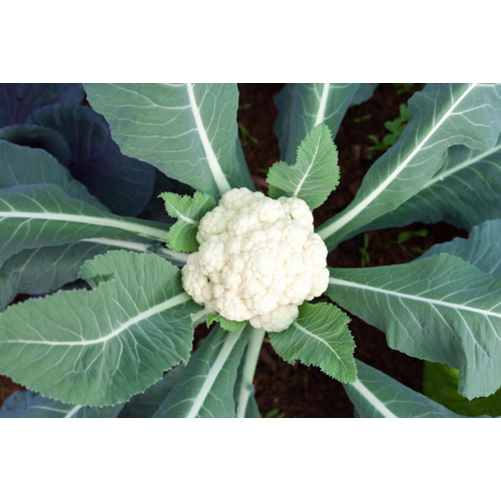 """Cauliflower - 4.5"""""""