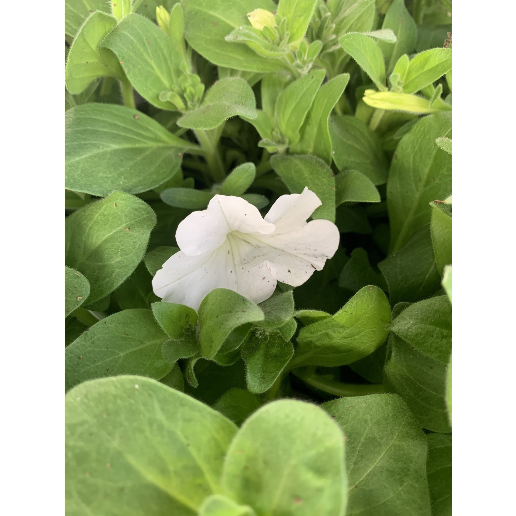 Wave Petunia Solid Colour - 1 gal