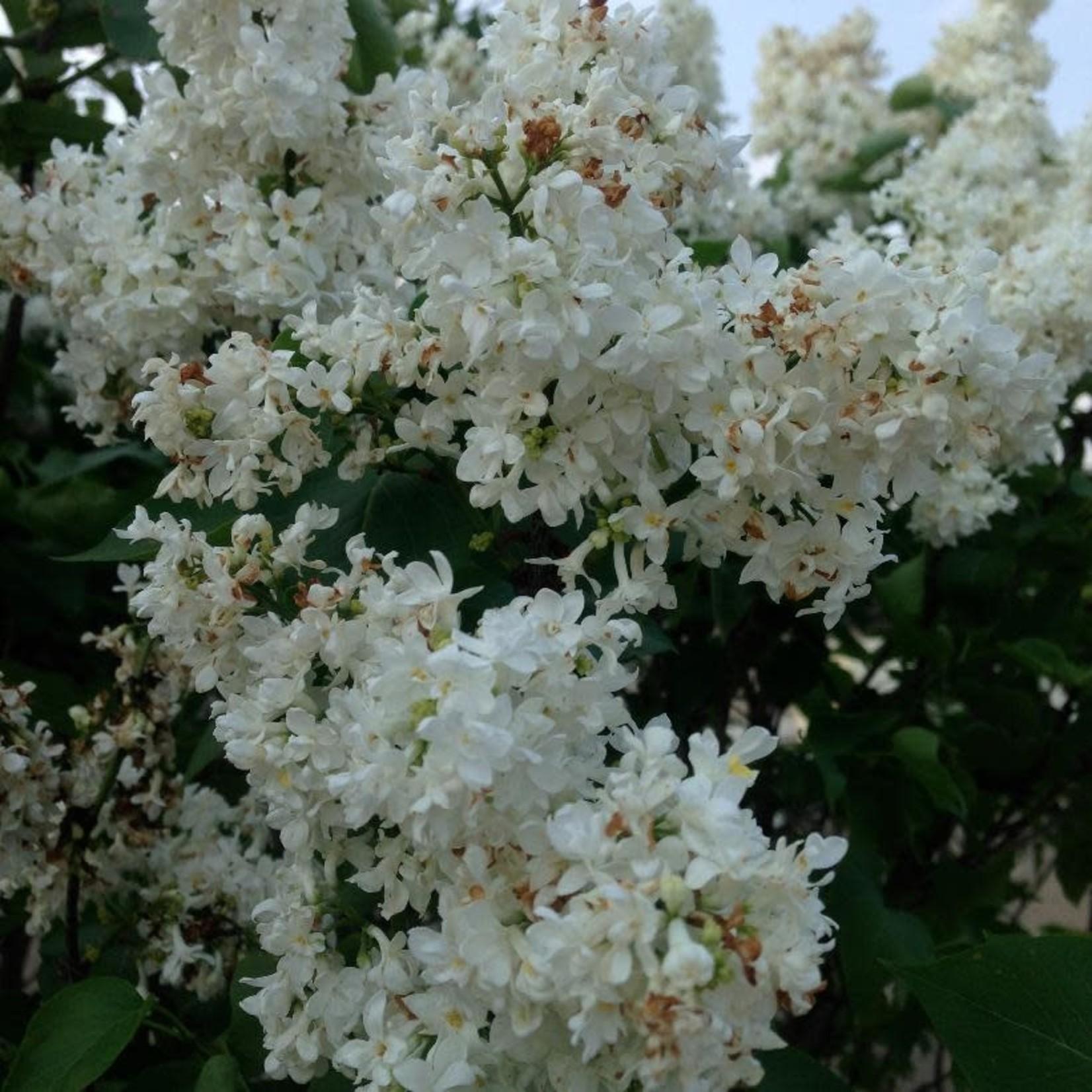 Lilac 'mme lemoine'