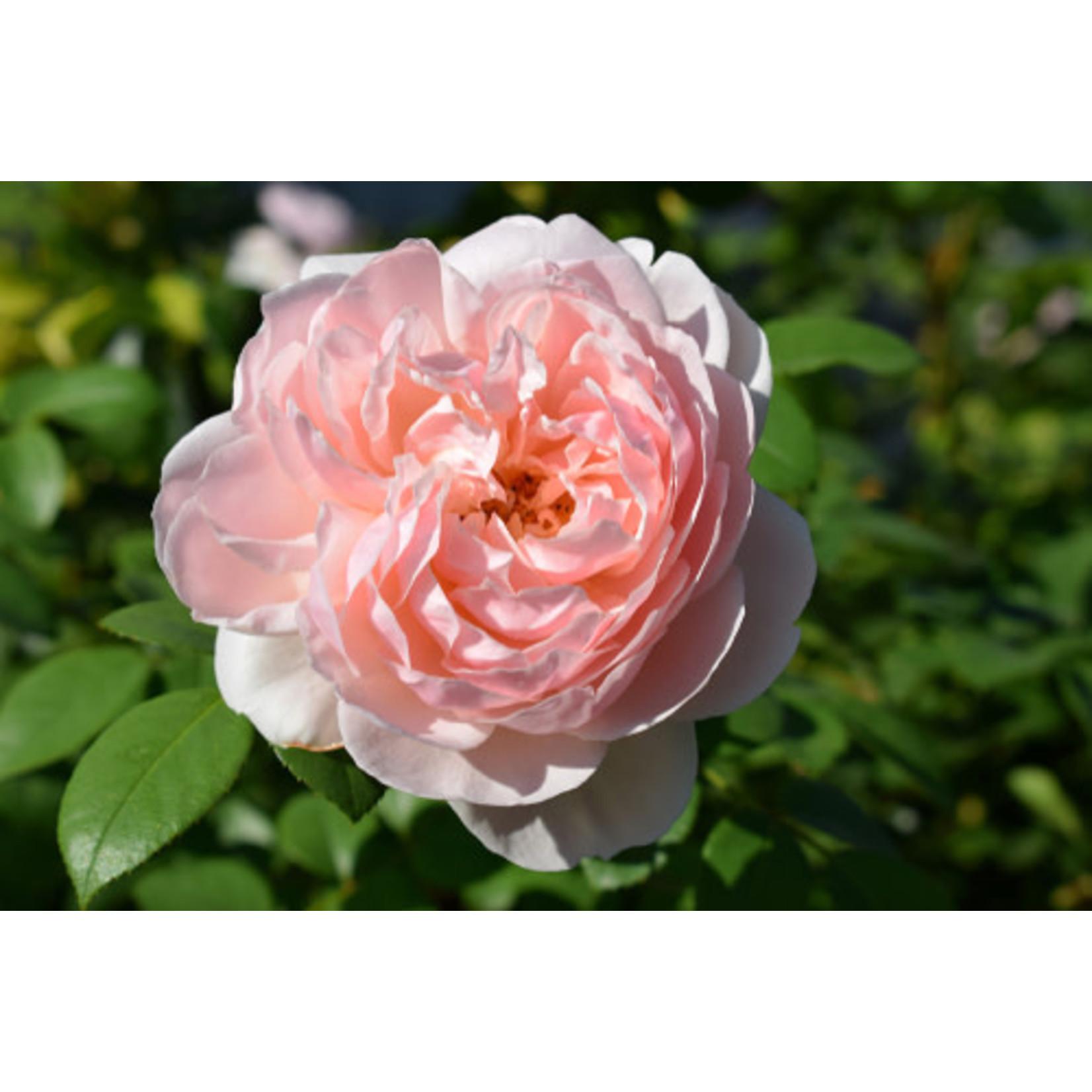 Rose 'Gentle Hermione Pink' - 3 gal