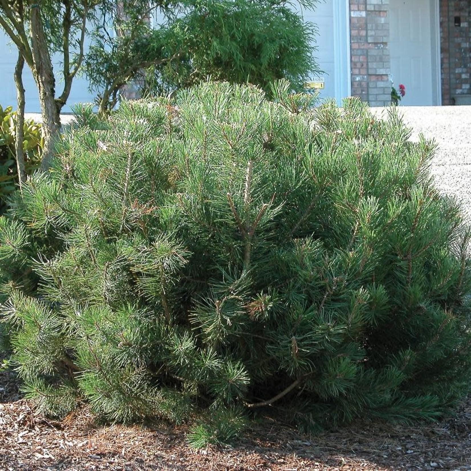 Mugho Pine - 2 gal