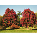 """Red Maple 'October Glory"""" - 8' potted"""