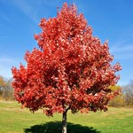"""Red Maple 'Brandywine"""" - 8' potted"""