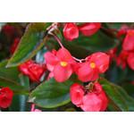 """Begonia 'Dragon Wing' - 4"""""""
