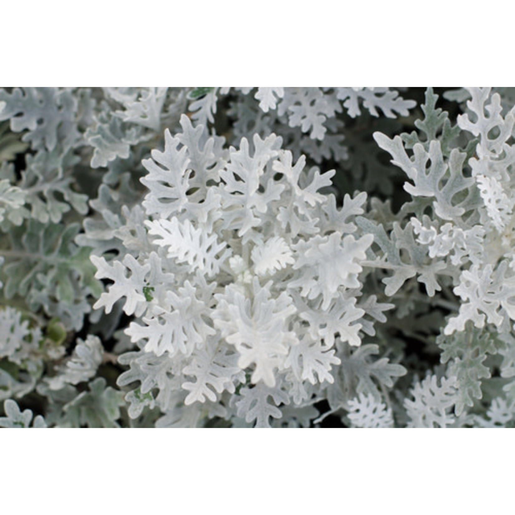Dusty Miller - 4 Cell Pack