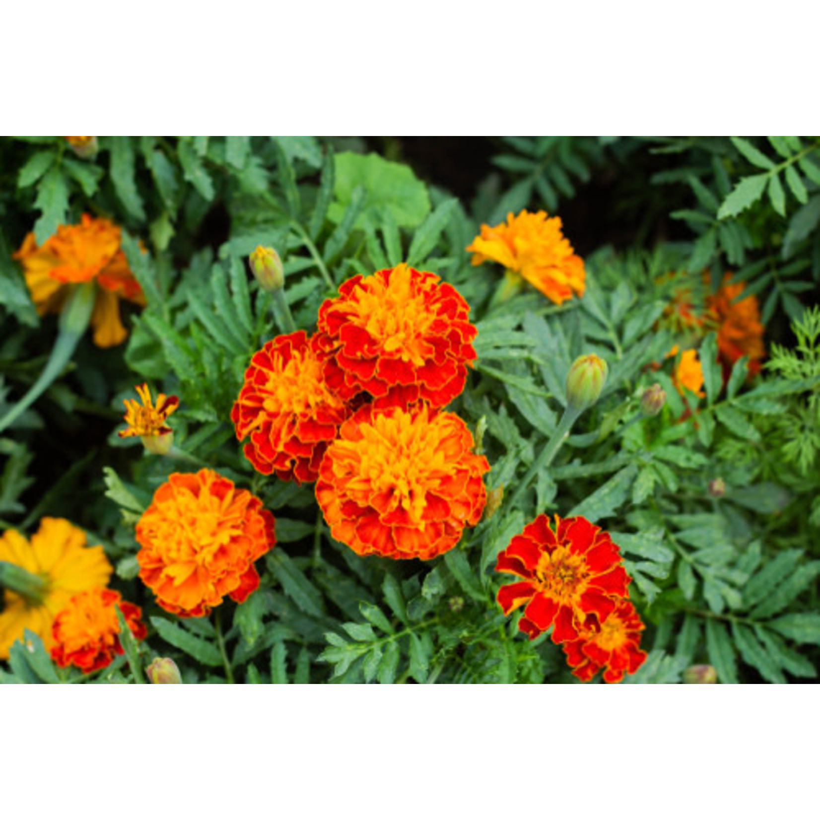 Marigold - 4 Cell Pack
