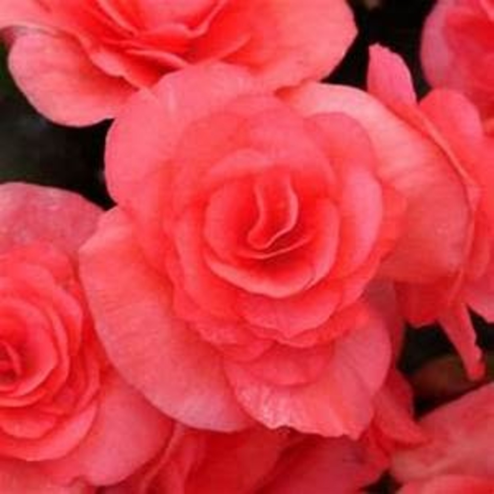 Begonia - 4 Cell Pack